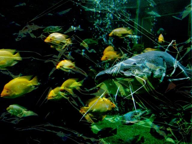 Ein Wels schwimmt durch einen Fischschwarm.