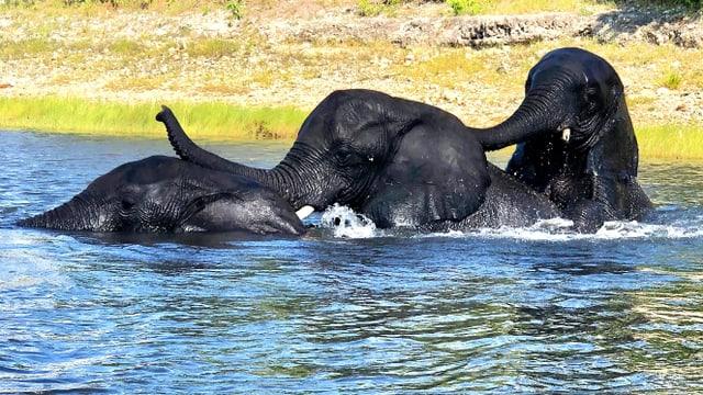 Drei badende, junge Elefanten im Chobe Fluss in Botswana.