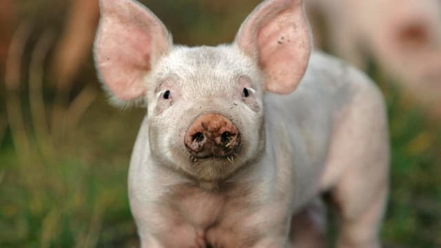 Armes Schwein – Heiss geliebt und wild umstritten