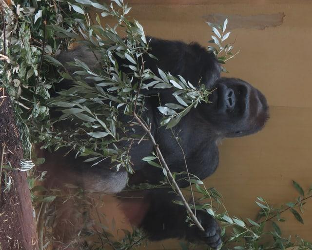 N'Gola ganz hinten im Affengehege beim Fressen von Blättern eines Zweiges.