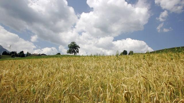Eine Wiese mit Getreide