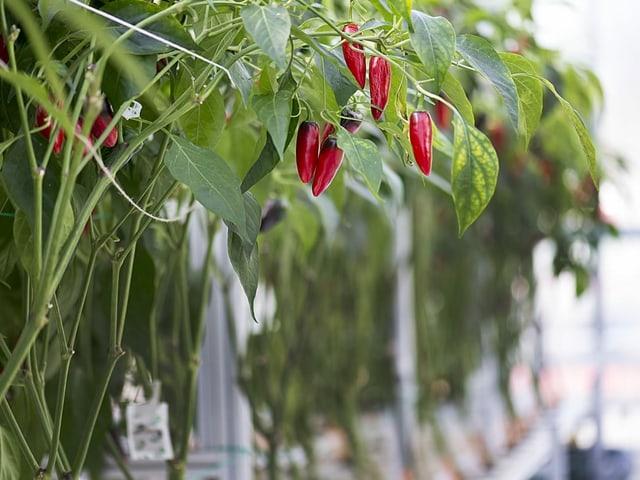 Chilischoten hängen an einer Pflanze.