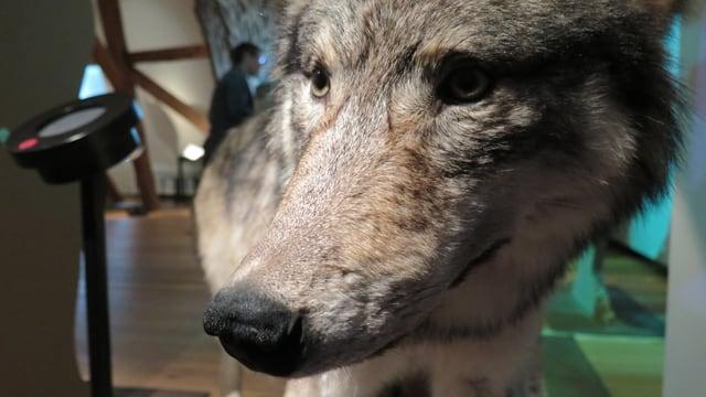 Präparierter Wolf