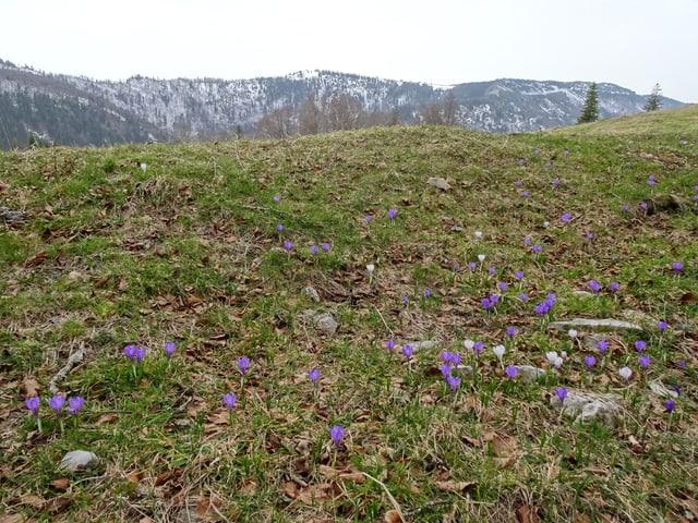 Bergwiese mit spärlichen violetten Blumen