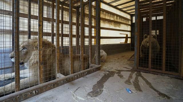 Eine Löwin und ein Bär in einem Käfig.