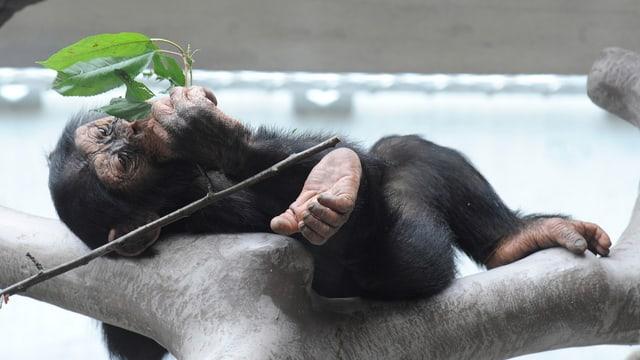 Ein junger Schimpanse frisst genüsslich Grünzeug.