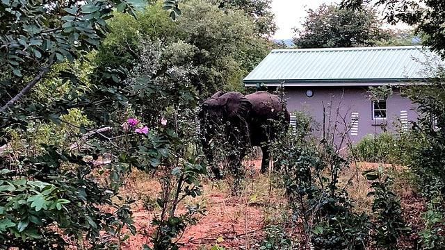 Ein Elefant steht im Garten eines kleinen Einfamilienhauses in Botswana.
