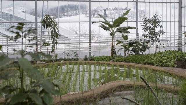 In einer Glashalle werden tropische Pflanzen angebaut, draussen liegt Schnee auf den Wiesen.