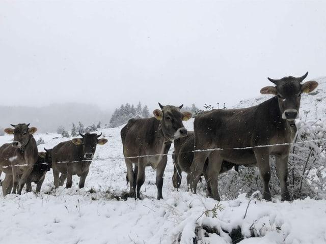 Rinder im Schnee.