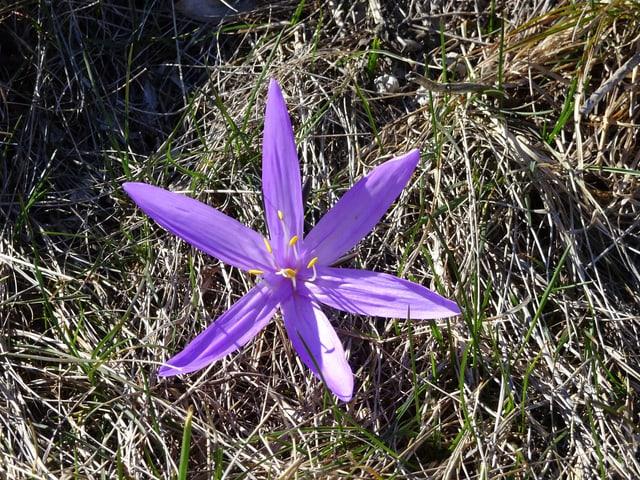 Eine Lichtblume, ein violettes Liliengewächs mit fünf sternenförmigen Blütenblättern dringt durch das teils noch braune Gras.