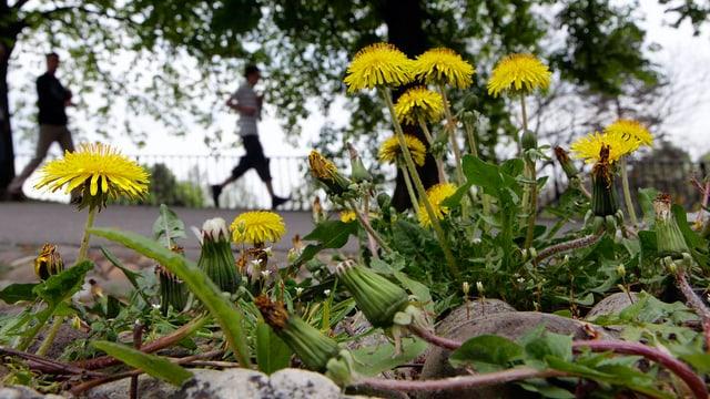 Gelb blühender Löwenzahl wächst am Strassenrand, im Hintergrund gehen zwei Menschen neben einem Baum.
