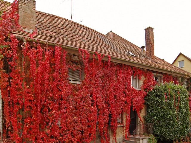 Haus mit Efeu überwachsen im Herbst.