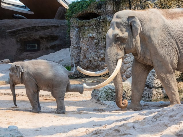 Elefantenbaby stösst mit Bein gegen Stosszähne
