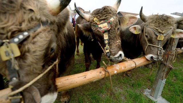 Angebundene Kühe auf einer Alp.