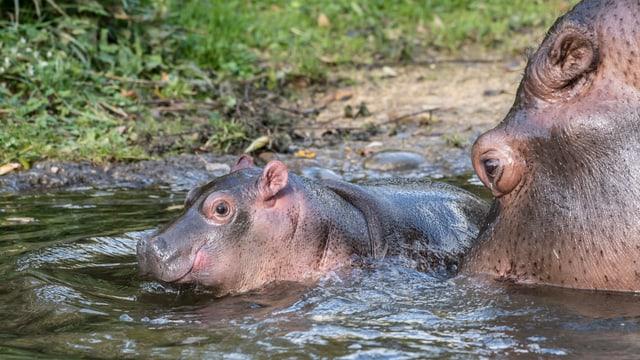 Flusspferddame Helvetia mit Baby Najum