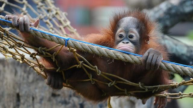 Orang-Utan-Baby hängt in einem Netz.