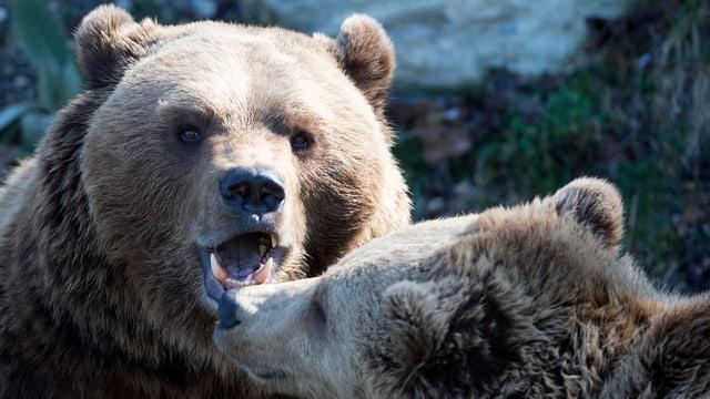 Zwei Bären im Bärenpark Bern.