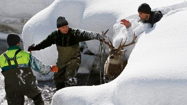 Wildhüter retten einen Hirsch aus einem Bachbett