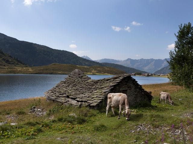 Blick auf ein Steinhaus am Ritomsee. Davor grasen Kühe.