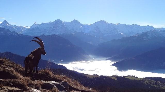 Steinbock geniesst das Nebelmeer.