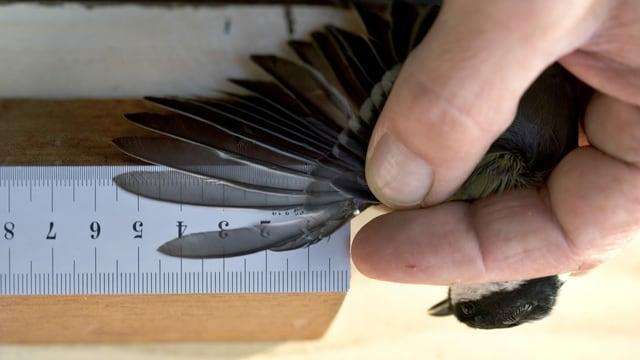 Purtret d'in maset nair ed in collavuratur da la staziun ornitologica che mesira la lunghezza da l'ala da l'utschel.