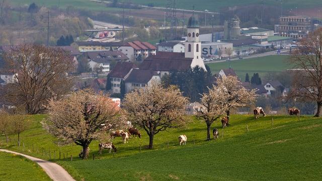 Blick auf Gemeinde Oberfrick mit Kirche, im Vordergrund grasende Kühe