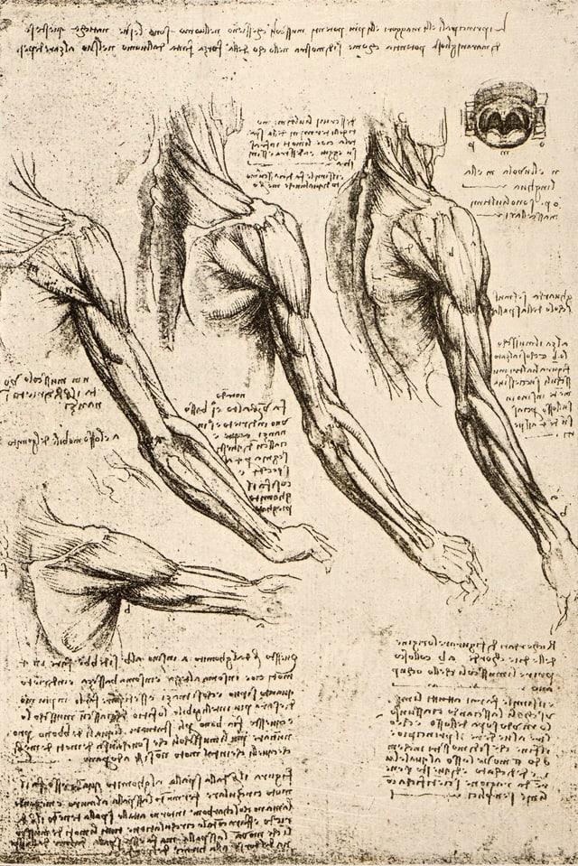 Gezeichnete Studien von Muskeln