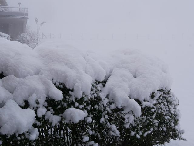 Hecke beladen mit Schnee.