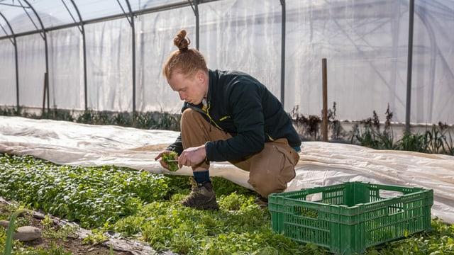 ein junger Mann erntet Salat auf einem Feld