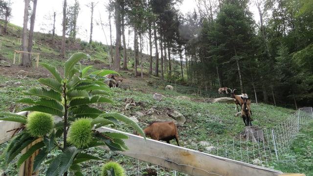 Junge Kastanien und Geissen oberhalb Seelisberg