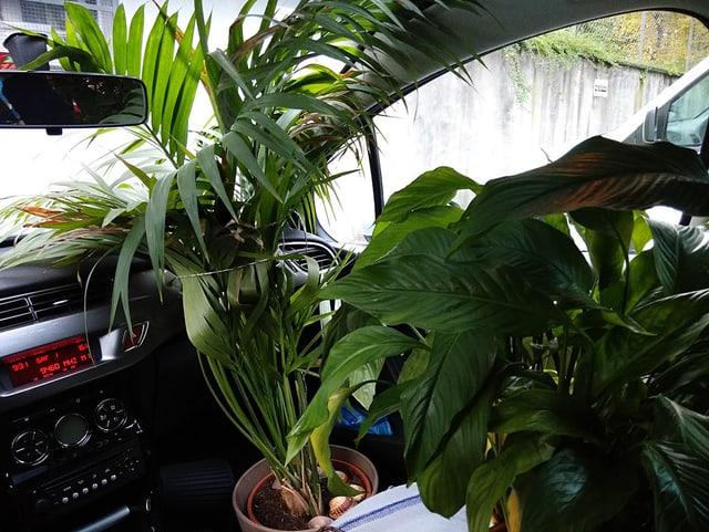 Zimmerpflanzen in einem Auto.