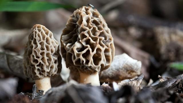 Zwei braune Pilze im Boden.