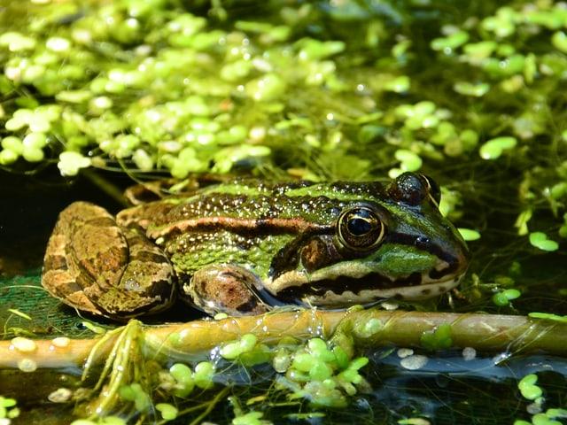 Bild in grünen Tönen mit einem Frosch im Gartenteich mit vielen runden Wasserlinsen.