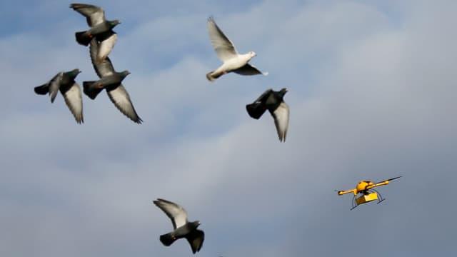 «Paketkopter» der Deutschen Post DHL in der Luft, sechs Tauben fliegen in der Nähe der Drohne.
