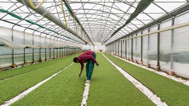 Ein Flüchtling arbeitet in der Landwirtschaft als Erntehelfer.