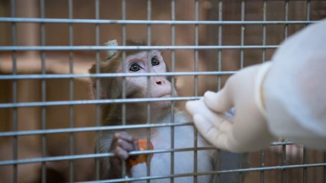 Affe hinter Gitter