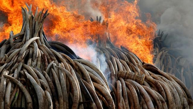 Brennende Elefantenzähne