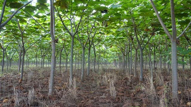 Balsa -Bäume