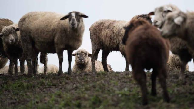 Schafe stehen auf einer Wiese.