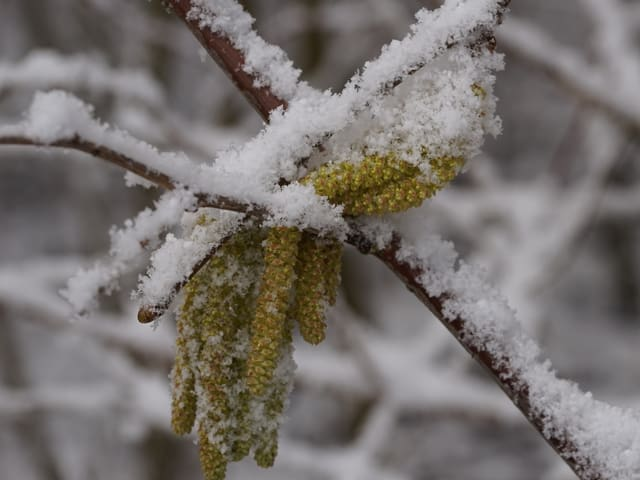 Ast mit Schnee. Kätzchen mit Pollen in gelb hängt daran.