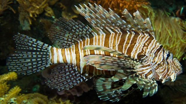 Rotfeuerfisch im Basler Zoo