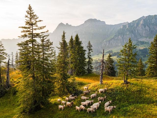 Bäume, daneben eine Almwiese, darauf viele Ziegen, Sonnenstrahlen streifen die Landschaft.