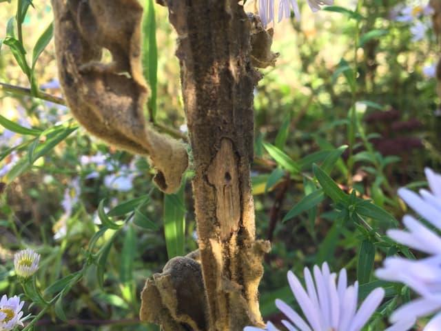 Königskerze mit Insektenloch