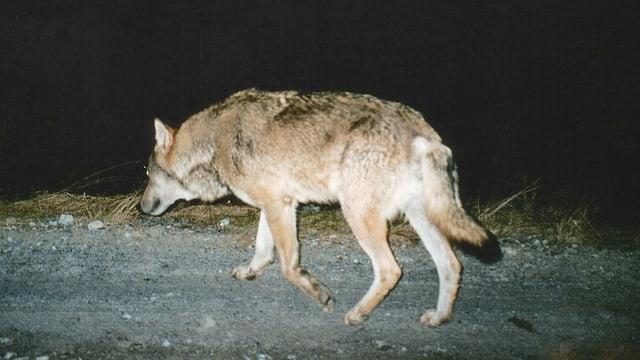 Wolf läuft über die Strasse