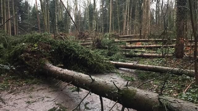 Zahlreiche umgestürzte Bäume versperren einen Waldweg.