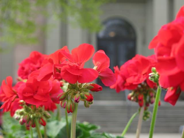 Blume, rot