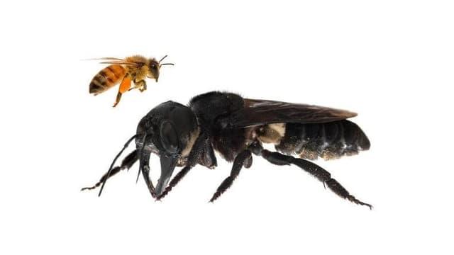 Eine Riesenbiene mit einer europäischen Honigbiene im Vergleich.