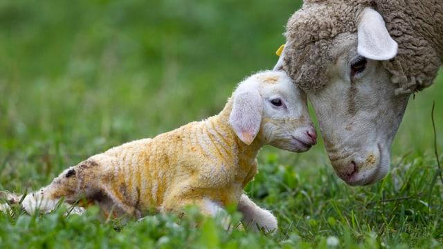 Ein Mutterschaf Kopf an Kopf mit dem Babyschaf