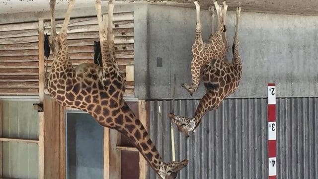 In der Mitte präsentiert sich der neue Babystar der Giraffenzucht im Knies Kinderzoo.
