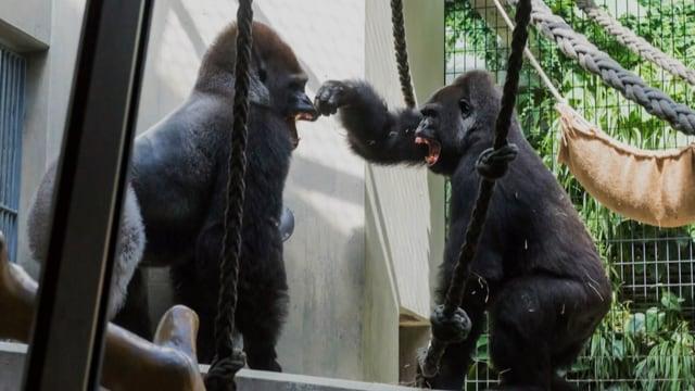 Zwei Gorilla-Männchen stehen sich im Gehege gegenüber und fauchen sich an.